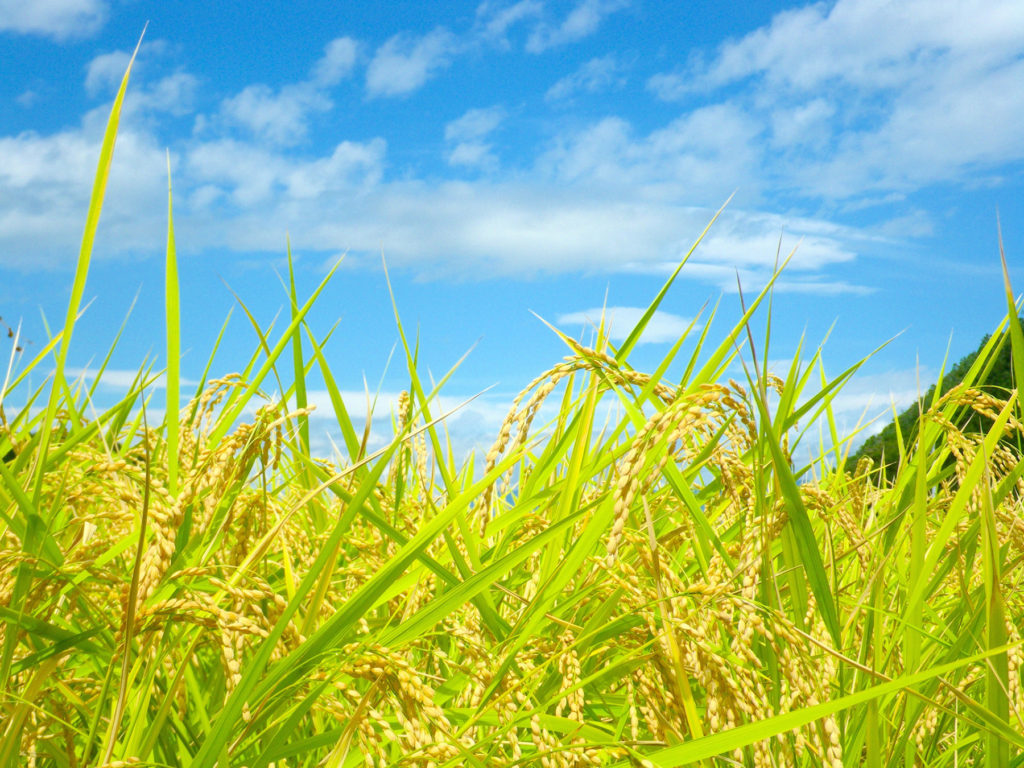 ライスジャームオイルは米ぬかから採れるオイルです